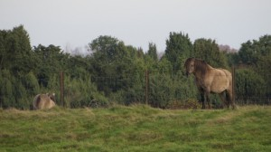 Wildpferde im Wachholderhain